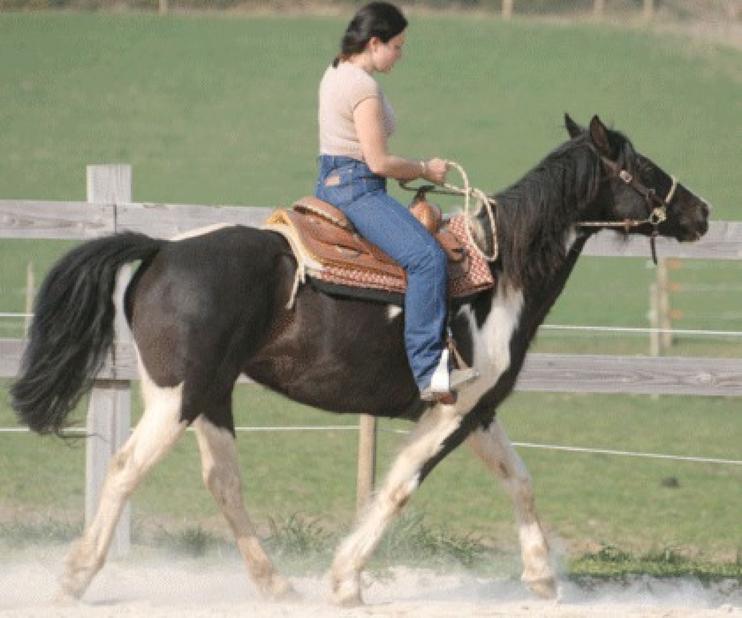 jak-curly-allure-gaited-pace-pas